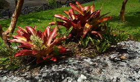 picture of bromeliad  - Large Bromeliad plants are a highlight of Southern tropical gardens - JPG