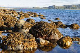 image of algae  - Boulders on the Barents Sea coast covered with brown algae - JPG