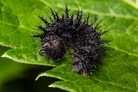 image of moth larva  - Spiky black caterpillar on green leaf will become beautiful giant silk moth.