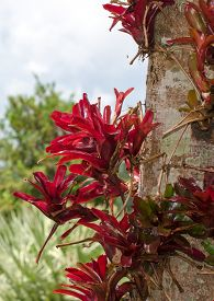 stock photo of bromeliad  - Red Bromeliad growing on a tree trunk - JPG