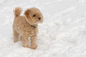 pic of cockapoo  - A capture of a dog in the snow - JPG