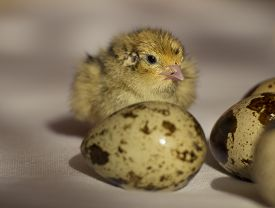 picture of quail egg  - calm nestling quail egg next to a beige background - JPG