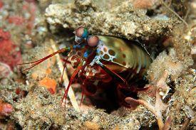 foto of shrimp  - Peacock Mantis Shrimp  - JPG