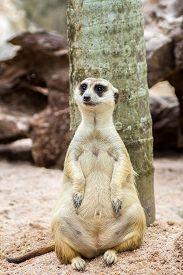 picture of meerkats  - Meerkat sitting in the zoo a beautiful - JPG