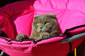 foto of scottish-fold  - scottish fold cat lying on a pink chair and looks very expressive - JPG