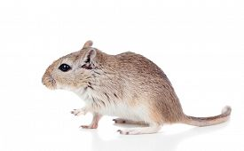 image of gerbil  - Profile of a mouse isolated on a white background - JPG