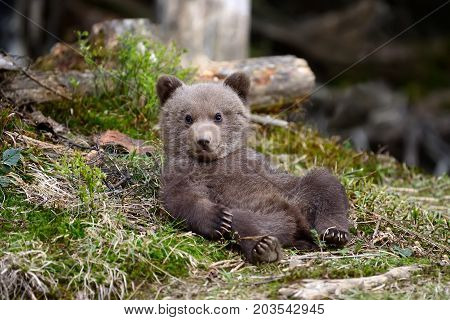 poster of Young Brown Bear In The Forest