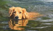 Wet Golden Retriever Dog Swimming On Waters Of A Lake poster