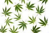 Marijuana Leafs On White Background Isolated poster