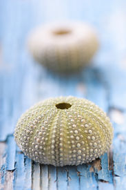 stock photo of sea life  - sea urchins on peeling paint texture - JPG