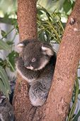 The Joey Koala Is In The Fork Of A Tree poster