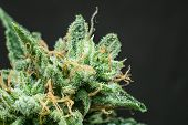 Fresh Green Weed In Details. Cbd Thc In Pot. Cbd Thc In Pot. Marijuana Bud Close Up. Macro Trichomes poster