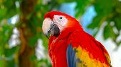 Colorful Portrait Of Amazon Red Macaw Parrot. Side View Of Wild Ara Parrot Head On Dark Blue Backgro poster
