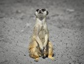Very Funny Meerkat Manor Sits In A Clearing At The Zoo And Blurry Bokeh. Meerkat Or Suricate Looking poster