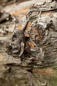 Surface Of The Old Pine Trunk. Pine Log. Beautiful Pine Knot. Closeup Of A Pine Trunk. poster