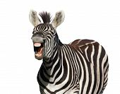 stock photo of hairy tongue  - Zebra with a look of laughter isolated on white background - JPG