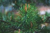 Fir Tree Branch With Cones. Raindrops On Spruce Needles. Green Pine Branch Close-up On Green Natural poster