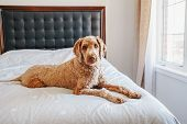 Cute Adorable Shameless Curious Red-haired Pet Dog Lying On Clean Bed In Bedroom At Home. Bold Domes poster
