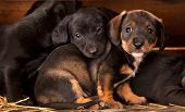 Dachshund puppies 3 weeks old purebred over wooden  background poster