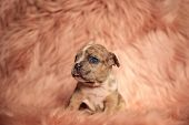 Adorable American Bully puppy looking around with its tongue exposed while sitting on pink furry bac poster