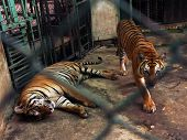 Couple Of Tigers In Captivity Inside A Cage poster