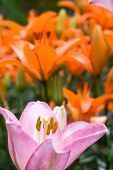 picture of asiatic lily  - One of pink asiatic lily bloom in front of deep orange lily