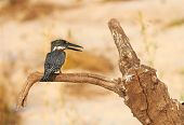 foto of saharan  - The lesser seen Giant Kingfisher male  - JPG