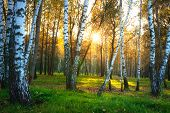 Autumn Nature Landscape. Autumn Forest. Birch Trees In Sunlight. Sunny Evening In Birch Forest. Yell poster