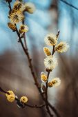 Flowering Catkins Or Buds, Pussy Willow, Grey Willow, Goat Willow In Early Spring On A Blue Brown Sk poster