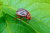 stock photo of potato bug  - a image of Colorado beetle on potato leaf