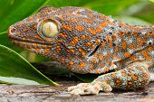 pic of tokay gecko  - Tokay Gecko close up of animal at daylight - JPG