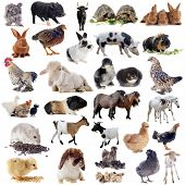 picture of piglet  - farm animals in front of white background - JPG