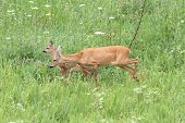 image of deer family  - family of roe deers  - JPG