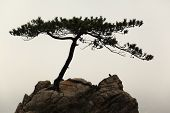 foto of windswept  - Windswept conifer on a rock with a little bird sitting there - JPG