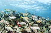 pic of sergeant major  - Schools of different types of reef fish come together on a coral reef in the Caribbean - JPG