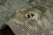 picture of stingray  - A yellow stingray close up in the Bahamas - JPG