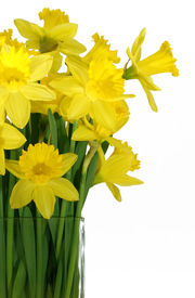 foto of flower vase  - daffodils in a vase isolated on white - JPG
