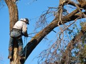 stock photo of arborist  - Arborist climbs up giant damage Elm tree to fasten a safety line and begin cutting - JPG