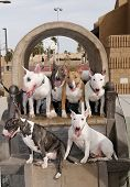 Bull Terriers in a covered Wagon