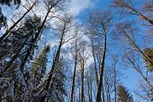 picture of alder-tree  - Alder tree crowns snow wrapped against blue sky with some light clouds - JPG