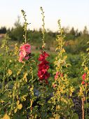 picture of hollyhock  - Pink Hollyhocks on the farm during sunset - JPG