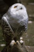 pic of snowy owl  - Portrait of a Snowy owl looking up with its yellow eye - JPG