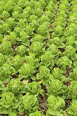 stock photo of butter-lettuce  - Butter head Lettuce vegetable in the farm - JPG