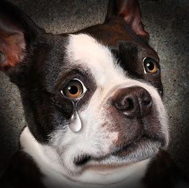 image of animal cruelty  - Lost pet animal cruelty and neglect concept with a sad crying dog looking at the viewer with a tear of despair as a concept of the need for humane treatment of living things - JPG