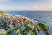 stock photo of gannet  - viewpoint for nesting Northern gannet colony - JPG