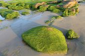 picture of lien  - Moss on stones in the morning at Co Thach beach , Tuy Phong , Binh Thuan province , Vietnam. This happens only in Spring. Binh Thuan has a lot of famous resorts.