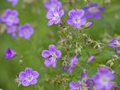 picture of geranium  - Wood cranesbill - JPG