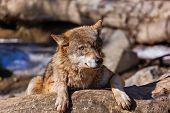 Постер, плакат: Wolf In Park