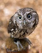image of screech-owl  - closeup portrait of a young screech owl