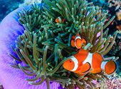 stock photo of biodiversity  - Pacific Clownfish in a colorful purple host anemone - JPG